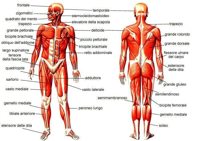 male ai muscoli